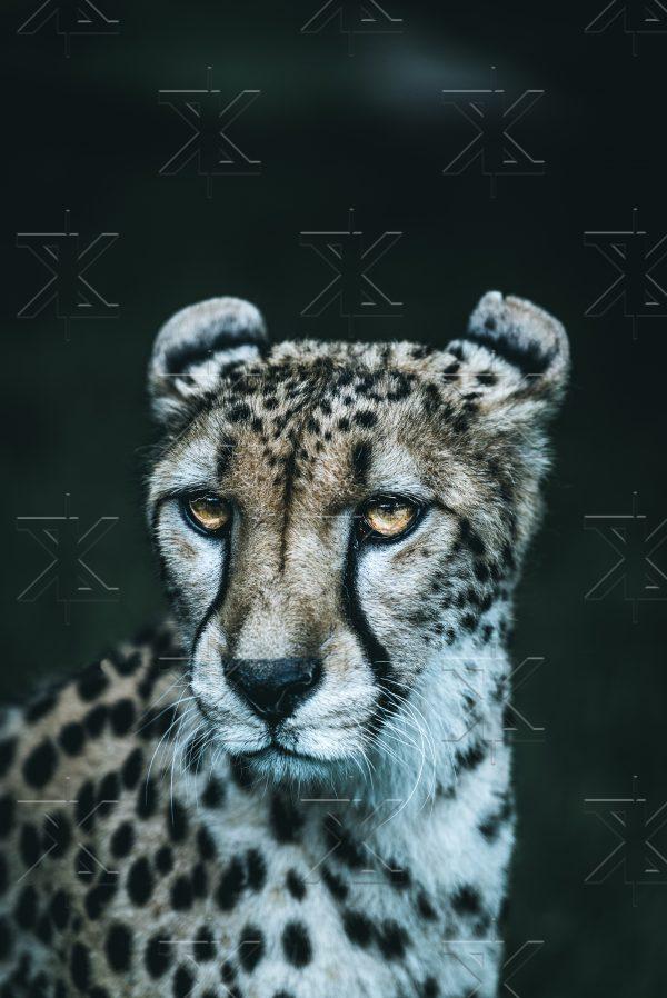 Der Gepard fotografiert von Lukas Klima