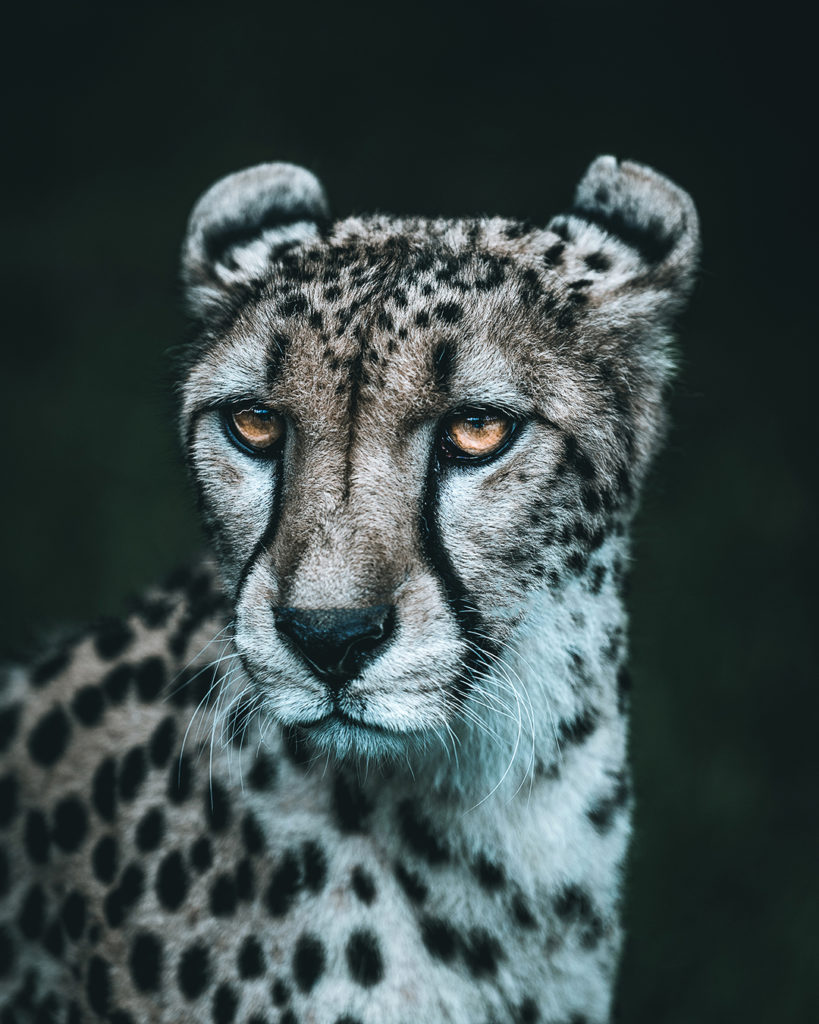 Der Gepard ganz Nah, gefilmt und fotografiert von Lukas Klima